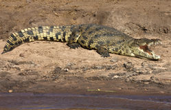 Nile Crocodile - Botswana. A Nile Crocodile (Crocodylus niloticus) warming in the sun on the banks of the Chobe River in Chobe National Park in Botswana Stock Images