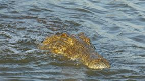Nile crocodile catching and eating a fish. Nile crocodile Crocodylus niloticus catching and eating a small fish, Kruger National Park, South Africa stock video