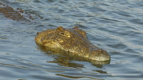 Nile crocodile catching and eating a fish. Nile crocodile Crocodylus niloticus catching and eating a small fish, Kruger National Park, South Africa stock video footage