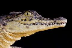 Nile crocodile / Crocodilus niloticus. The Nile crocodile is one of the biggest reptiles in the world and the biggest reptile of the African continent Stock Photo