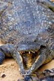 A nile crocodile, Crocodylus niloticus Stock Images
