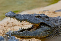 A nile crocodile, Crocodylus niloticus. Detail of the head of a nile crocodile, Crocodylus niloticus Royalty Free Stock Image
