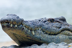 A nile crocodile, Crocodylus niloticus Royalty Free Stock Photo