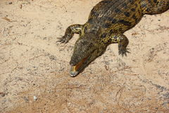 Nile Crocodile. Stock Photo