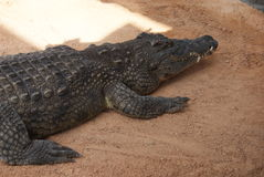 Nile Crocodile - Crocodylus niloticus Royalty Free Stock Photos