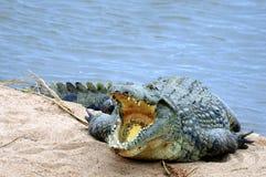 Free Nile Crocodile (Crocodylus Niloticus) Royalty Free Stock Images - 41860089
