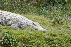 Nile crocodile (Crocodylus niloticus), Africa Royalty Free Stock Photography