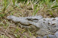 Nile crocodile (Crocodylus niloticus), Africa Stock Image