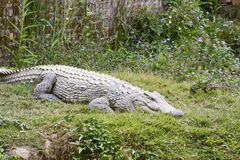 Nile crocodile (Crocodylus niloticus), Africa Stock Photo