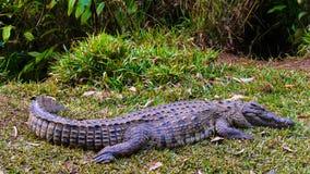 Nile crocodile Stock Photos