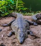 Nile crocodile Royalty Free Stock Photography