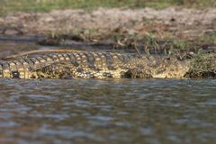 Nile crocodile Crocodylus niloticus on the banks of the Chobe River in Botswana Royalty Free Stock Images