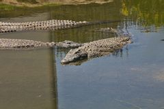 Nile crocodile Crocodylus niloticus on the banks of the  in South Africa Stock Image