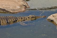 Nile crocodile Crocodylus niloticus on the banks of the  in South Africa Stock Photo