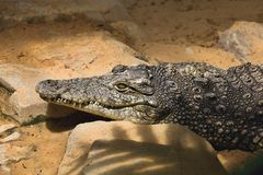 Nile crocodile Crocodylus niloticus on the banks of the  in South Africa Royalty Free Stock Images