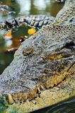 Nile crocodile Crocodylus niloticus, close-up detail of teeth of the crocodile with open eye. Crocodile head close up in nature of Royalty Free Stock Photo