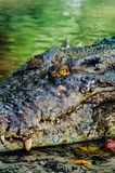 Nile crocodile Crocodylus niloticus, close-up detail of teeth of the crocodile with open eye. Crocodile head close up in nature of Royalty Free Stock Images