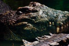 Nile crocodile Crocodylus niloticus, close-up detail of teeth of the crocodile with open eye. Crocodile head close up in nature of. Borneo Stock Photos