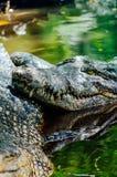 Nile crocodile Crocodylus niloticus, close-up detail of teeth of the crocodile with open eye. Crocodile head close up in nature of. Borneo Stock Photography