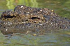 Nile crocodile (Crocodylus niloticus). Close-up of Nile crocodile (Crocodylus niloticus)  in the water at biyamiti weir in Kruger National Park, South Africa Royalty Free Stock Photos