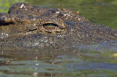 Nile crocodile (Crocodylus niloticus). Close-up of Nile crocodile (Crocodylus niloticus)  in the water at biyamiti weir in Kruger National Park, South Africa Stock Photography