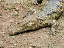 Nile crocodile (Crocodylus niloticus) close up Stock Images