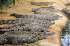 Nile crocodile, Crocodylus niloticus Stock Images