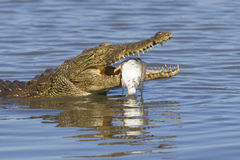 Nile Crocodile (Crocodylus niloticus) eating, South Africa. A Nile Crocodile with its fish catch, Kruger Park, South Africa. (Crocodylus niloticus Royalty Free Stock Photography