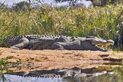 Nile crocodile (Crocodylus niloticus). In Kruger National Park, South Africa Stock Image