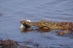 Nile crocodile (Crocodylus niloticus) Stock Photography