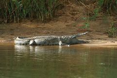Nile crocodile (Crocodylus niloticus) Stock Photos