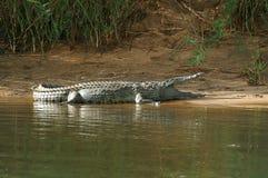 Nile crocodile (Crocodylus niloticus). In Kruger National Park, South Africa Stock Photos