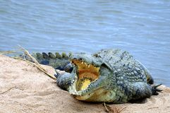 Nile crocodile (Crocodylus niloticus). In Kruger National Park, South Africa Royalty Free Stock Images