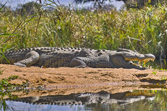 Nile crocodile (Crocodylus niloticus) Stock Photo