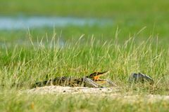 Nile crocodile, Crocodylus niloticus, with open muzzle, hidden in the grass, Okavango delta, Moremi, Botswana. Wildlife scene fro. M African nature stock photos
