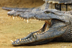 Nile crocodile. The Nile crocodile Crocodylus niloticus ,Nile crocodile portrait. Portrait with open jaw Stock Photo