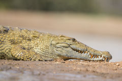 Nile Crocodile (Crocodylus niloticus) South Africa Stock Photography
