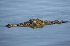 Nile Crocodile (Crocodylus niloticus) South Africa Royalty Free Stock Image