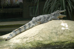 Nile crocodile. (Crocodylus niloticus) on a stone Stock Images