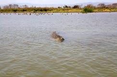 Nile crocodile (Crocodylus niloticus) Stock Photography