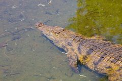 Nile Crocodile, Crocodylus niloticus, in water, South Africa Royalty Free Stock Images