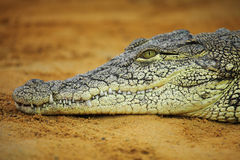 Nile crocodile Royalty Free Stock Photos
