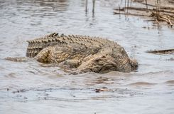 Nile Crocodile die in het water in Zuid-Afrika rusten royalty-vrije stock foto's