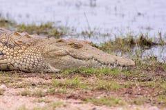 Nile Crocodile en el borde del agua Foto de archivo libre de regalías