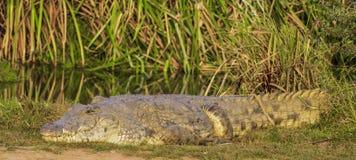 Nile Crocodile en el parque nacional Kenia la África del Este de Tsave Imagen de archivo