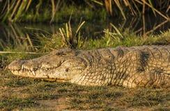 Nile Crocodile en el parque nacional Kenia la África del Este de Tsave Fotos de archivo libres de regalías