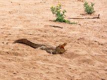 Nile Crocodile fotos de archivo