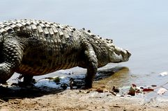 Free Nile Crocodile Entering Water Royalty Free Stock Photo - 7325035