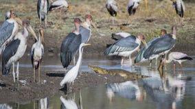 Nile Crocodile entre pájaros fotos de archivo