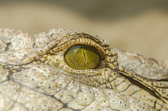 Nile Crocodile Eye Photos libres de droits